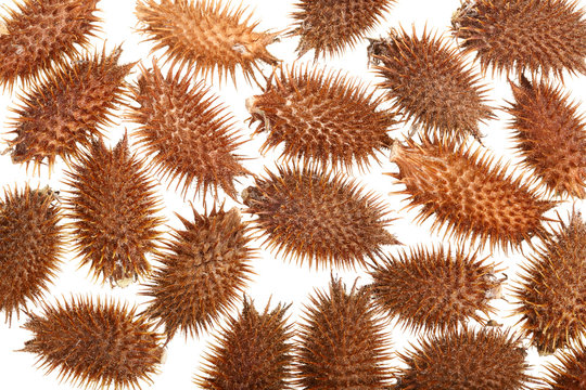 dry Xanthium strumarium isolated on white background has medicinal properties. Top view. Flat lay pattern