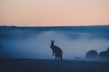 Foto op Aluminium Kangoeroe kangaroo in the field