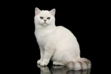 Playful British White Cat, with blue eyes, Sitting on Isolated Black Background, side view Wall mural