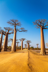 Foto op Canvas Baobab Avenue of the Baobabs near Morondova, Madagascar.