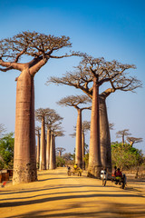 Horse carts on the Avenue of the Baobabs near Morondova, Madagascar.