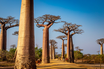Keuken foto achterwand Baobab Avenue of the Baobabs near Morondova, Madagascar.