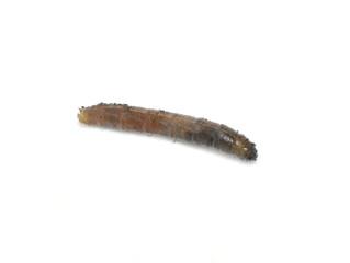 Tipulidae cranefly larvae isolated on white background