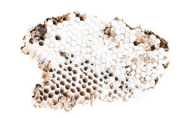 Alive baby asian hornet in nest honeycombed macro in white background