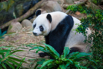 Zelfklevend Fotobehang Panda Smiling giant panda sitting among green plants and trees in the zoo
