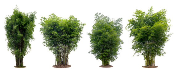 collection bamboo tree isolated on white background with clipping path