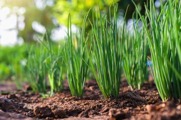 Fototapeta onion growht in vegetable garden obraz