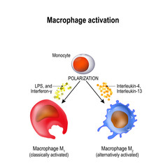 macrophage. Activation and polarization