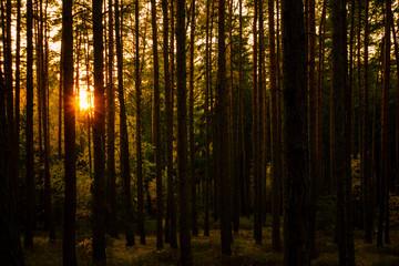 sunset in dark forest