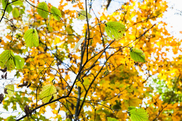green hazel leaves close up and yellow maple