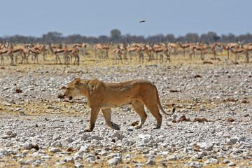 Löwenweibchen (panthera leo) am Wasserloch Gemsbokvlakte im Etosha Nationalpark in Namibia