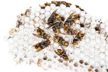Dead asian hornets on nest honeycombed macro studio