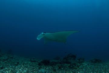 The Reef Manta Rray, Manta Alfredi.