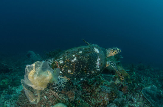 Green Turtle with plastic bag underwater