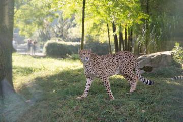 cheetah in a zoo