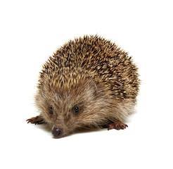 Hedgehog  isolated on white