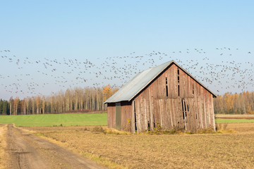 Goose migration to the south