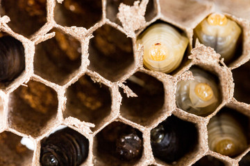 Close up of asian hornets nest inside honeycombed with larva larvae alive and dead macro studio