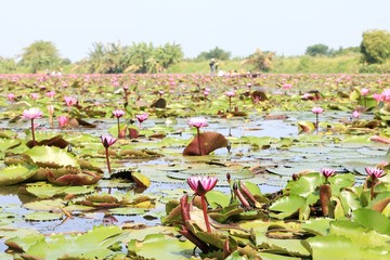 Pink lotus flower blooming Thailand in national park
