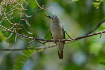 Chestnut-tailed Starling bird (Sturnus malabaricus) standing on the branch