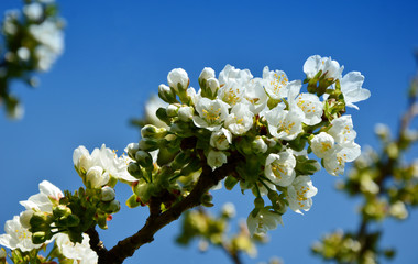 White pear blossoms with blue color filter  white flower with blue sky background.