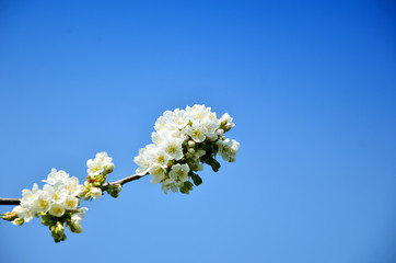 White pear blossoms with blue color filter 