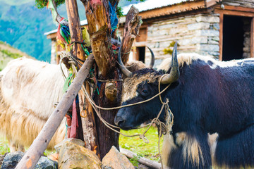 Himalayan yaks on Annapurna circuit track, Nepal