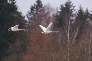 two mute swans (cygnus olor) in flight