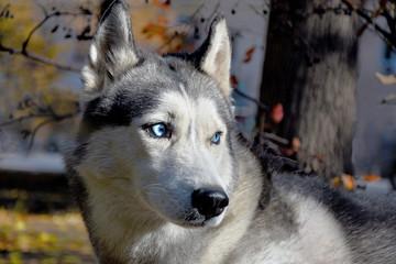 portrait of a blue-eyed sled dog breed Siberian Husky