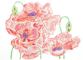 Composition of red poppies Watercolor pencils hand drawing