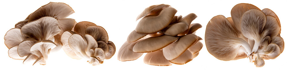 Oyster mushrooms - Pleurotus ostreatus growing on a sack with straw - isolated on a white background