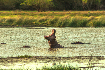 Very angry male with open mouth of Cape hippopotamus or South African hippopotamus in St Lucia Estuary, iSimangaliso Wetland Park, South Africa. The Hippo is a most dangerous mammal in Africa.