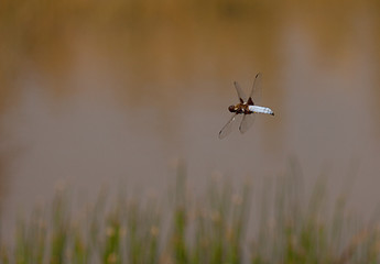 Dragonfly,  Broad Bodied Chaser, flying above a pond