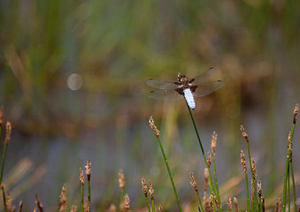 Pale Blue dragonfly, Broad Bodied Chaser resting on Spike-Rush