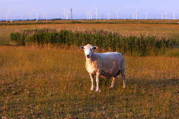 Sheep and Windfarm shortly before sunset