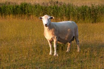 Romney Marsh Ram - sheep in a field in the golden light around sunset