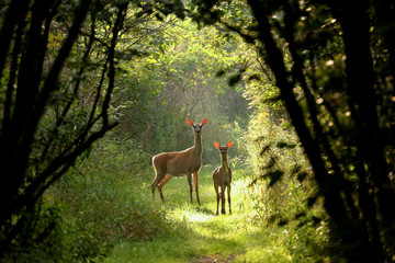 Photo sur Aluminium Cerf White tailed deer fawn witj hind on natural trail in north Wisconsin.