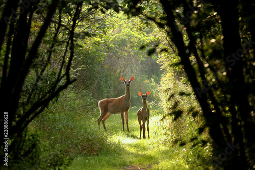 Fototapete White tailed deer fawn witj hind on natural trail in north Wisconsin.