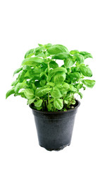 Sweet basil in pot on white background..Growing Basil in your herb garden.