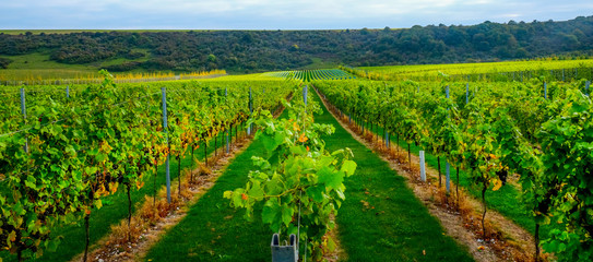 Foto auf Leinwand Weinberg Sussex, england, united kingdom, wine growing region, looking down three rows of grape vines in a vineyard with lines of ripe red grapes on the vines, green grass is in the middle