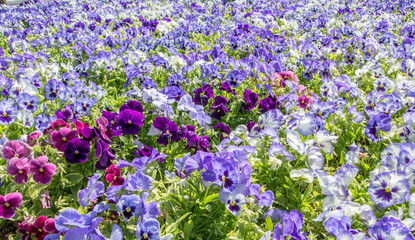 pansy flowers field