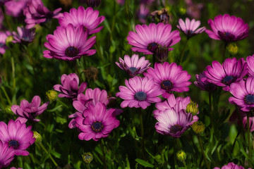 View of pink aster flowers in the summer garden
