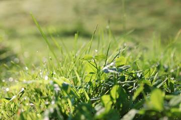 Dewy green grass on wild meadow, closeup view