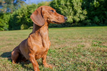 beautiful sausage dog sitting on the grass