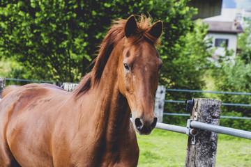 cavallo purosangue arabo sauro