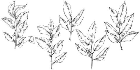 Vector laurus leaf. Leaf plant botanical garden floral foliage. Isolated illustration element. Black and white engraved ink art. Vector leaf for background, texture, wrapper pattern, frame or border.