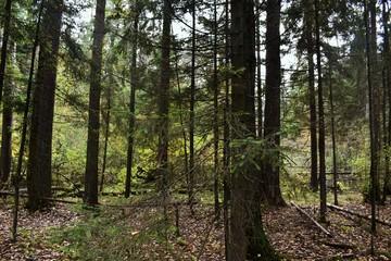 Forest in Opalikha (Moscow region)