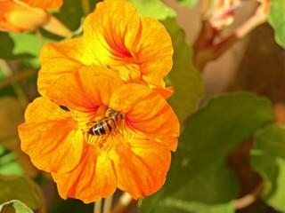 Honigbiene an oranger Blüte einer Kapuzinerkresse