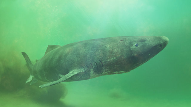 Greenland shark near the ocean ground, Somniosus microcephalus - shark with the longest known lifespan of all vertebrate species
