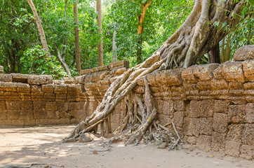 Roots of a strangler fig destroying the walls of the Ta Prohm temple in Angkor Wat, Cambodia